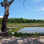 Rice fields beside the road.