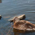 Duck near campus's pond