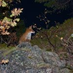 Fox in Lofoten