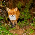 Fox came to around 2m distance and was not afraid of humans.