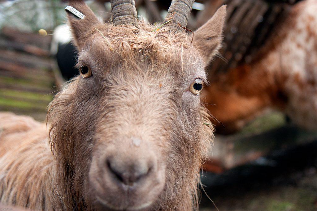 Goat at Skansen ZOO
