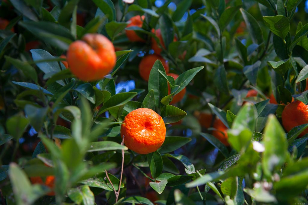 Mandarins in December through the city of Valencia.