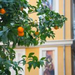 Mandarins in the street