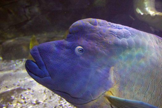 Large colourful fish