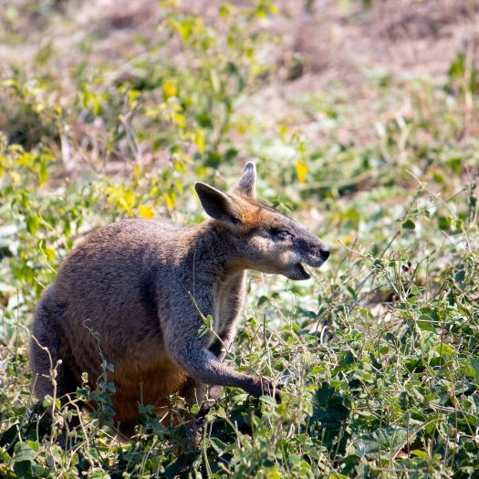 Wallaby - still not sure what exactly is difference between wallaby and kangaroo.