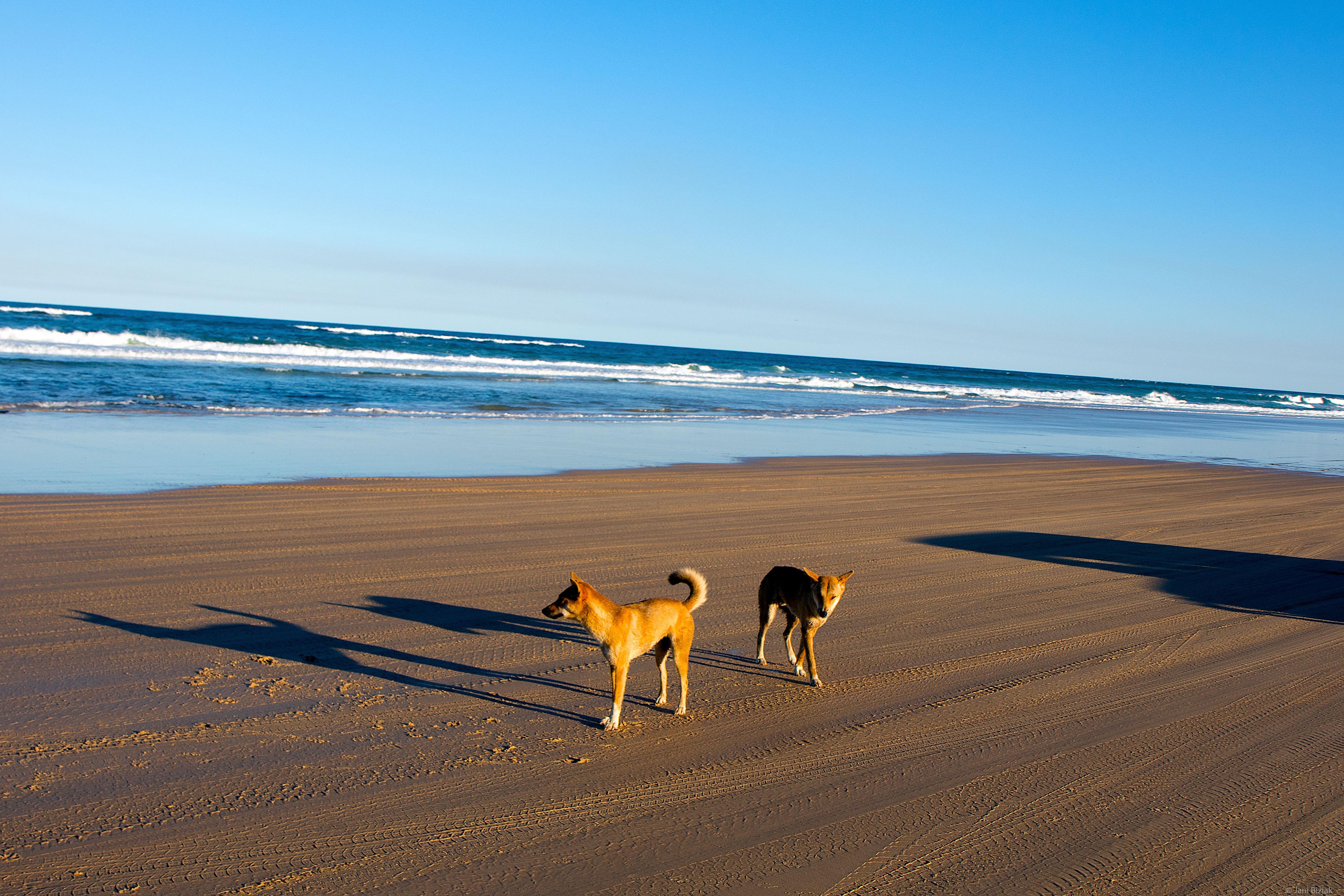 Dingo Hunting