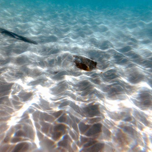 Camouflaged stingray