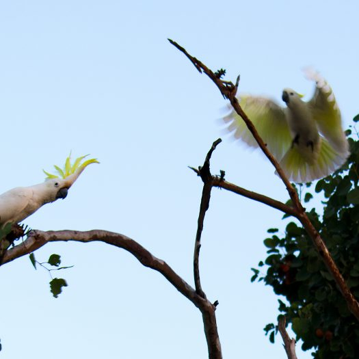 Cockatoos preparing to raid the parrot.