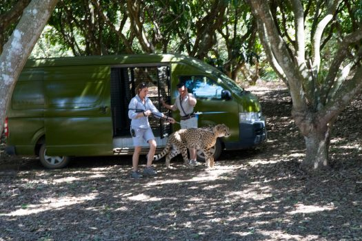 Walking cheetah in Australian zoo.
