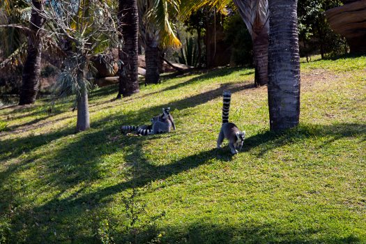 Lemur Island. Running toward us as we arrived.