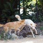 Dingoes fetching some lizards