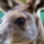 Kangaroo close up