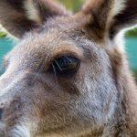 Kangaroo close up
