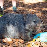 Wombat encounter