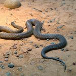 The most venomous snake in the world.