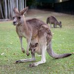 Kangaroo with baby in the pouch.