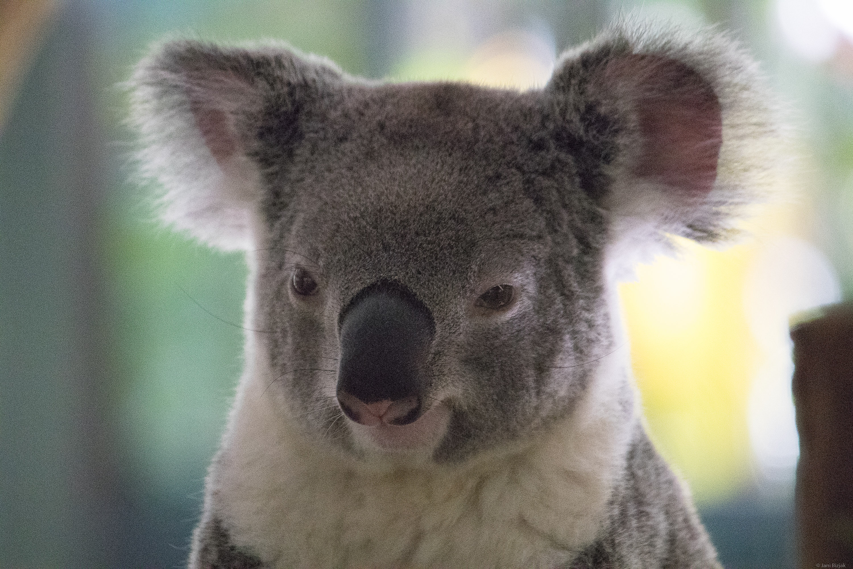 Koala close up.