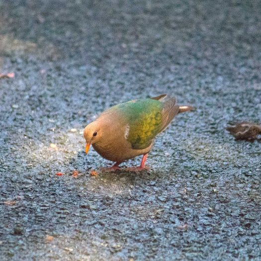 Colourful pigeon :)