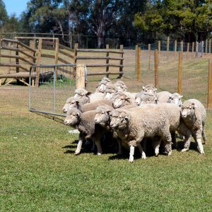 Dogs herding sheep