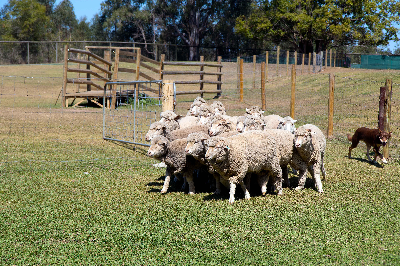 Dogs herding sheep