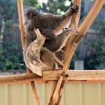Koala with a baby (joey as we learned)
