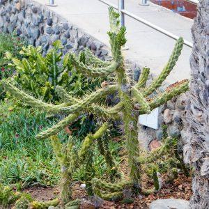 Cactus is growing everywhere.