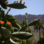 We actually ate a marmalade from this cactus. It was really good.