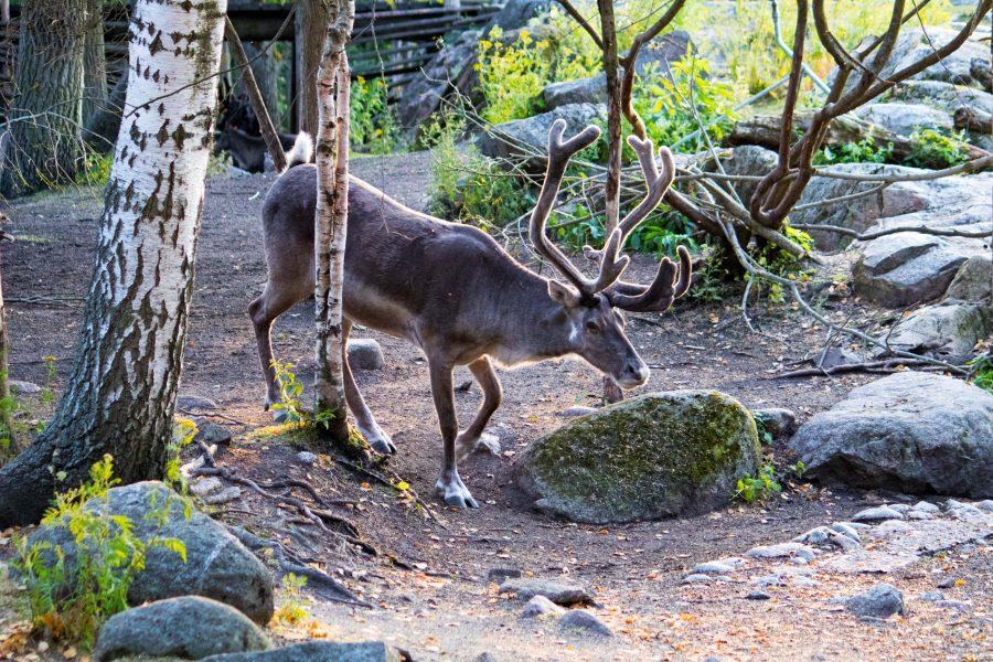 Shining elk.